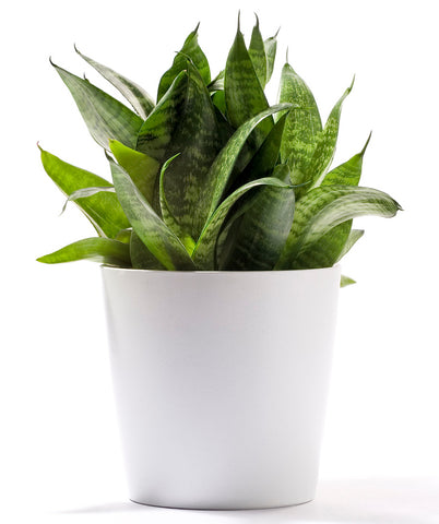 Snake Plant in a White Planter