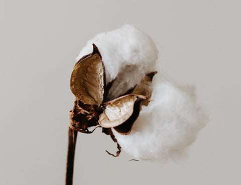 Organic cotton plant stalk