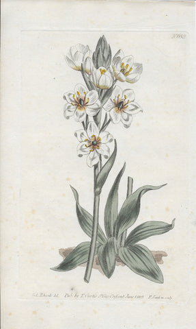 Plate 653 Revolute-Flowwered Star-of-Bethlem Hand Colored Antique Engraving - Three Labs Salvage