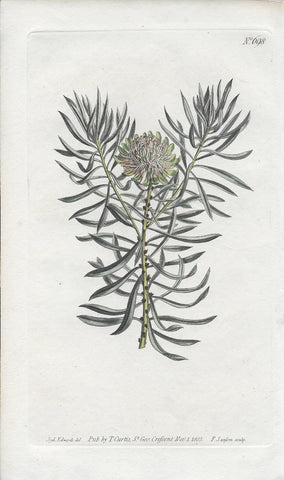 Plate 698 Small Smooth-Leaved Protea Antique Engraving - Three Labs Salvage