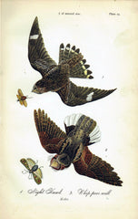 Night-Hawk and Whippoorwill - 1888 Lithograph - Three Labs Salvage