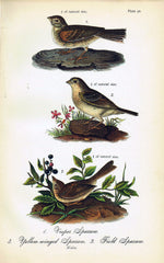 Sparrows - 1888 Lithograph - Three Labs Salvage