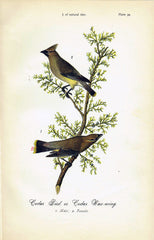 Cedar Bird  - 1888 Lithograph - Three Labs Salvage