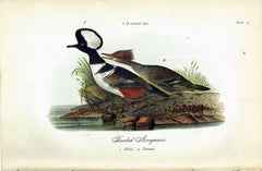 Hooded Merganser  - 1888 Lithograph - Three Labs Salvage
