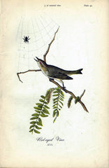 Red-eyed Vireo - 1888 Lithograph - Three Labs Salvage