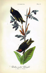 Golden-crested Kinglet - 1888 Lithograph - Three Labs Salvage