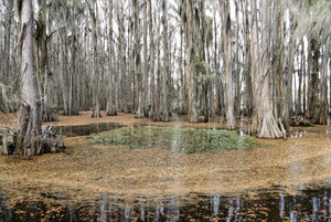 Caddo Lake by David Reinfeld, Archival Photography Print