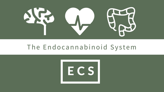 graphic. what is the endocannabinoid system