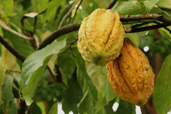 Comparing the Two Best Cacao Varieties in the World | To'ak Chocolate