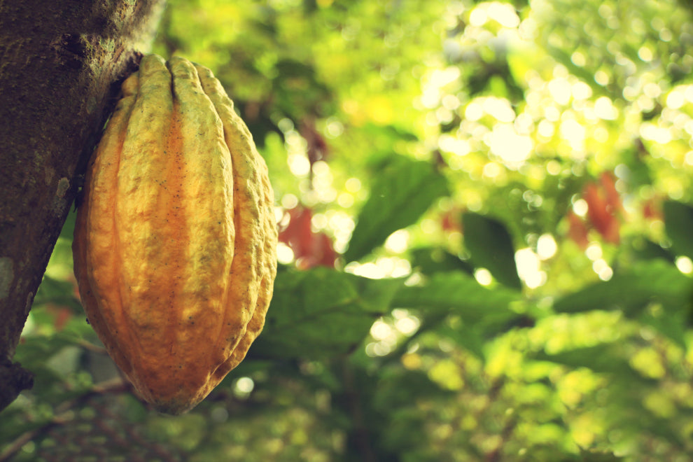 a Nacaional cacao pod hanging from its tree