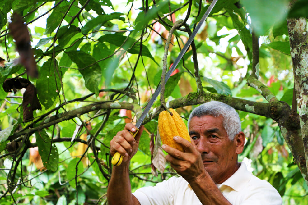 To'ak Transparency Report 2021 - Don Arnoldo Harvesting Cacao