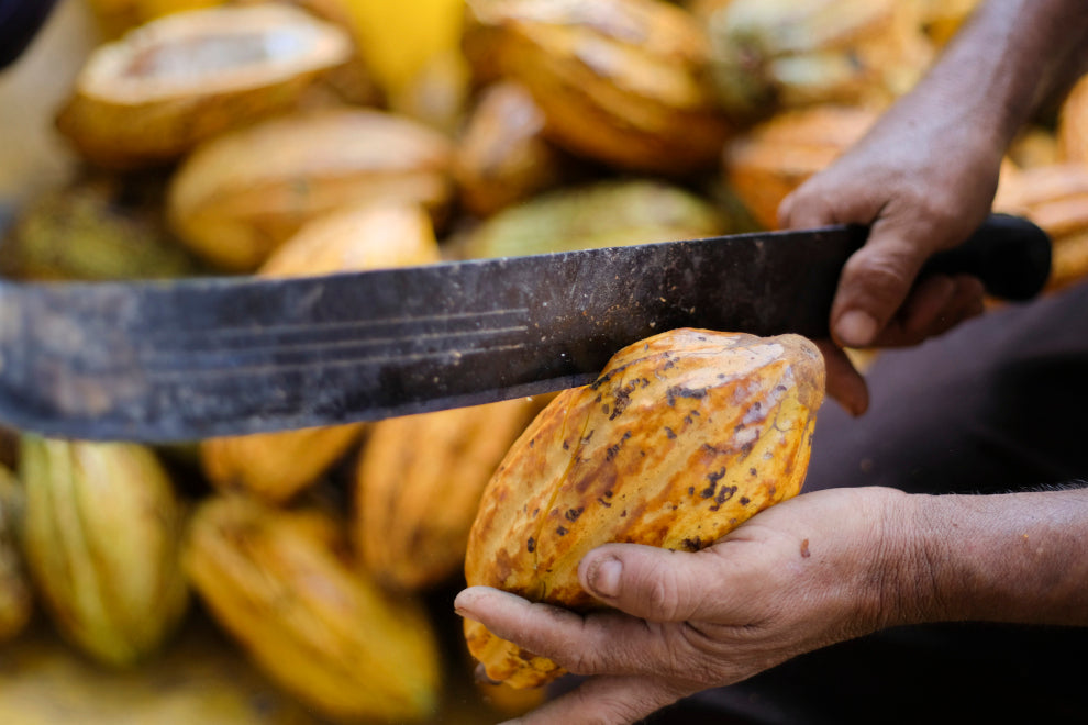 cacao pods: a yellow pod being held and cut open with a machete. several other cacao pods lay in the background