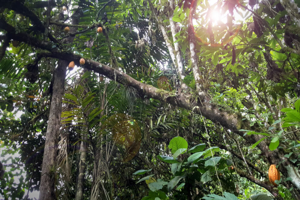 Theobroma cacao: an ancient Nacional cacao tree with several pods hanging from its branches