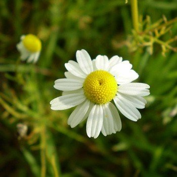 Chamomile, German (Canada) Essential Oil