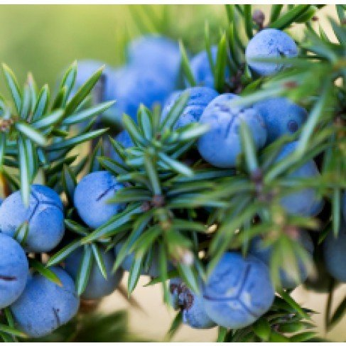 Juniper Berry (Italy) Essential Oil