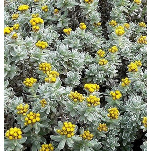 Helichrysum (Immortelle) Essential Oil