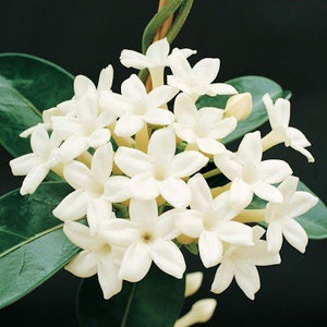 Jasmine Essential Oil (Grandiflorum)