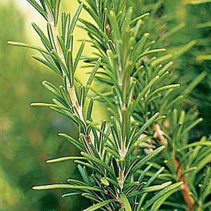 Rosemary (Organic) Essential Oil