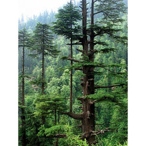 Cedarwood Oil (Perfume Grade) Essential Oil