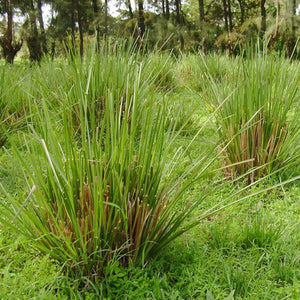 Vetiver (Rue, Ruh Khus) Essential Oil