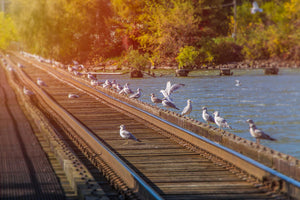 Seagulls Sit on Railroad Track Appleton Wisconsin