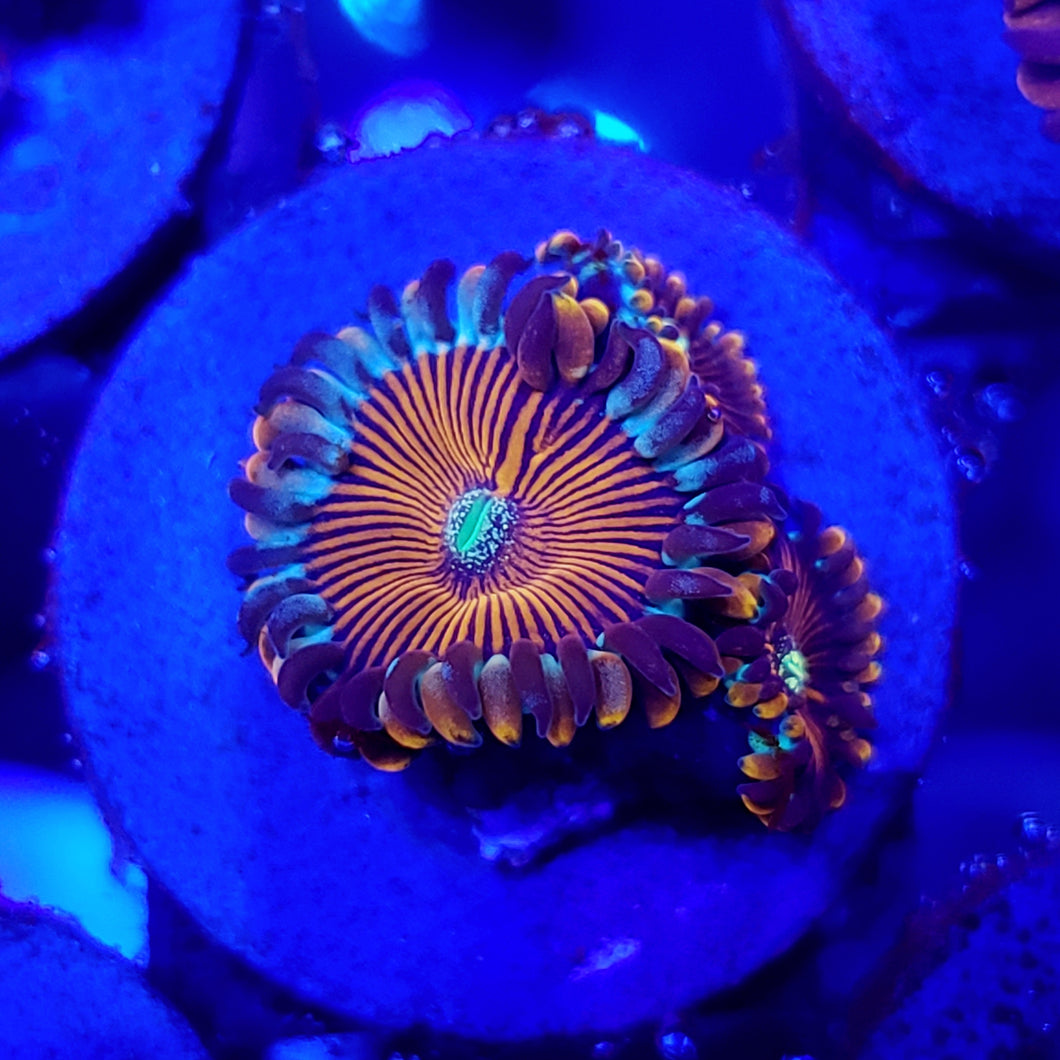 Blue Agave People Eater Zoas