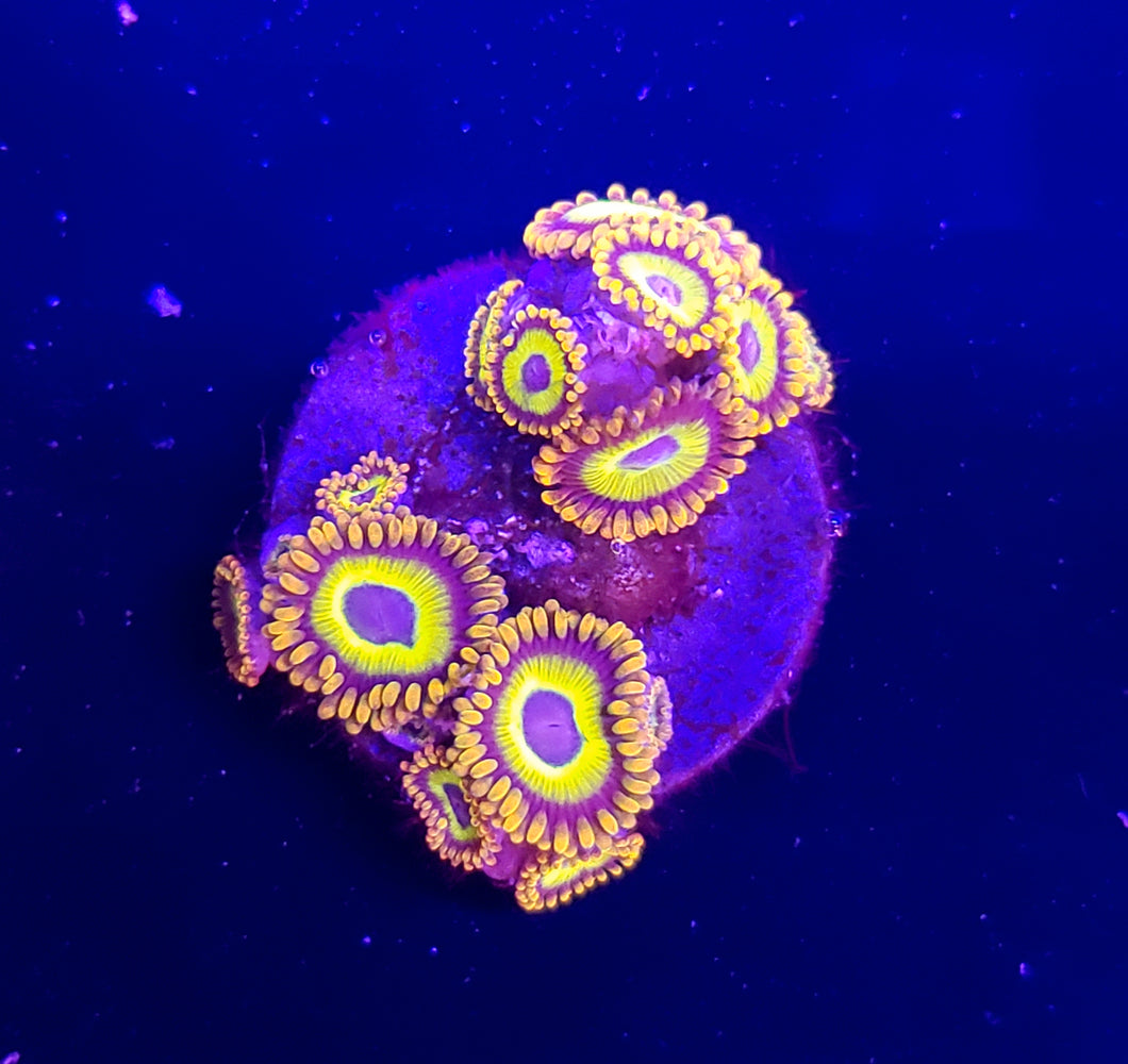 Fruit Loop Zoas