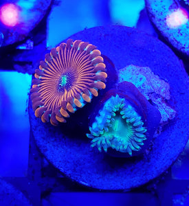 Blue Agave People Eater Green People Eater Zoa Frag