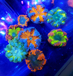 Ultra Flower Anemone pack