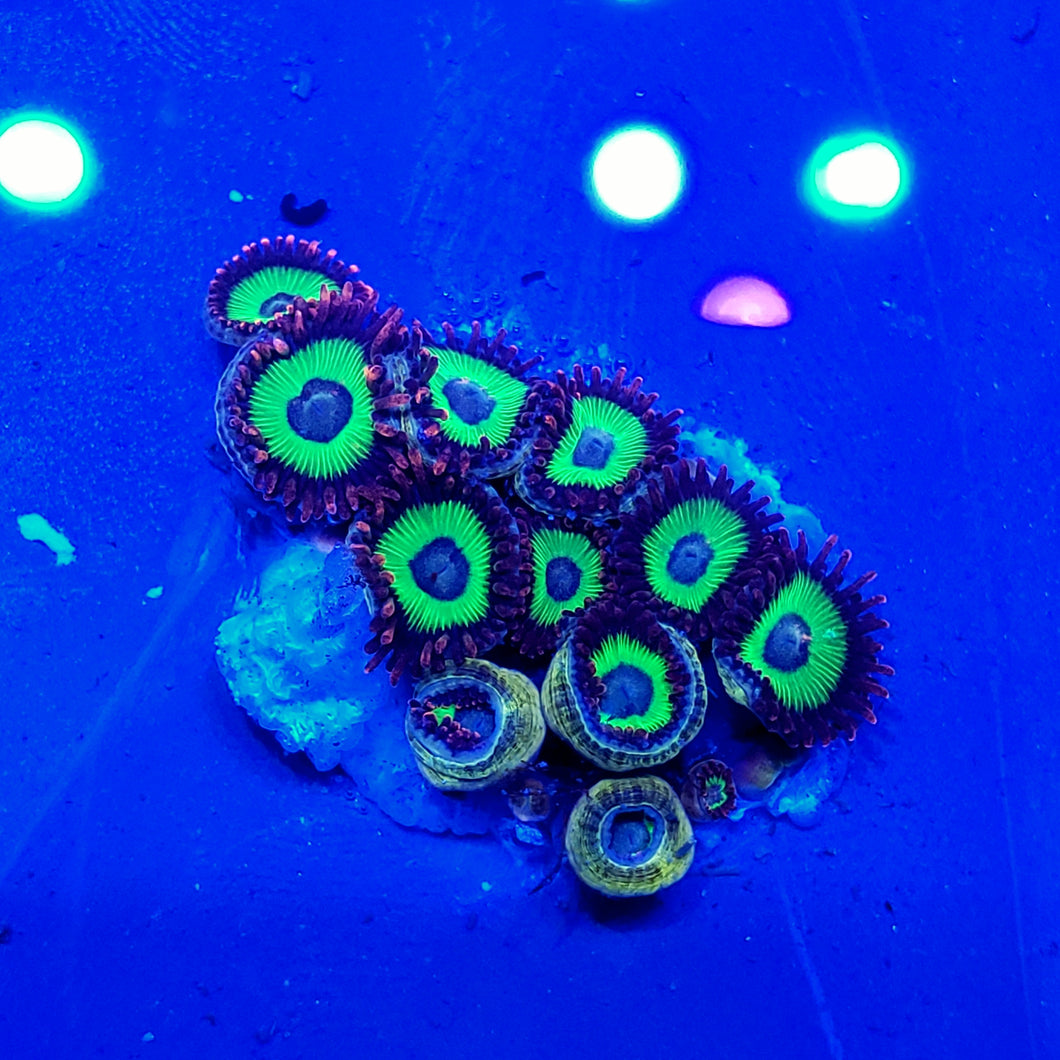 Emeralds On Fire Zoa Mini Colony