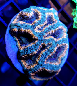 Pink Pastel Acan Colony