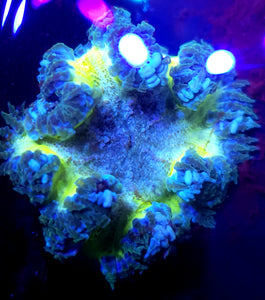XL Highlighter Green Bubbly Center Flower Anemone