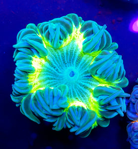 Bi-Color Highlighter Zebra Flower Anemone