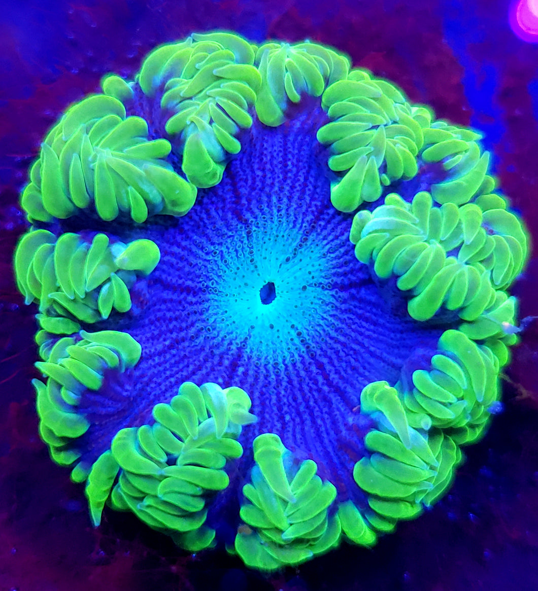 Ultra Green Zebra Flower Anemone