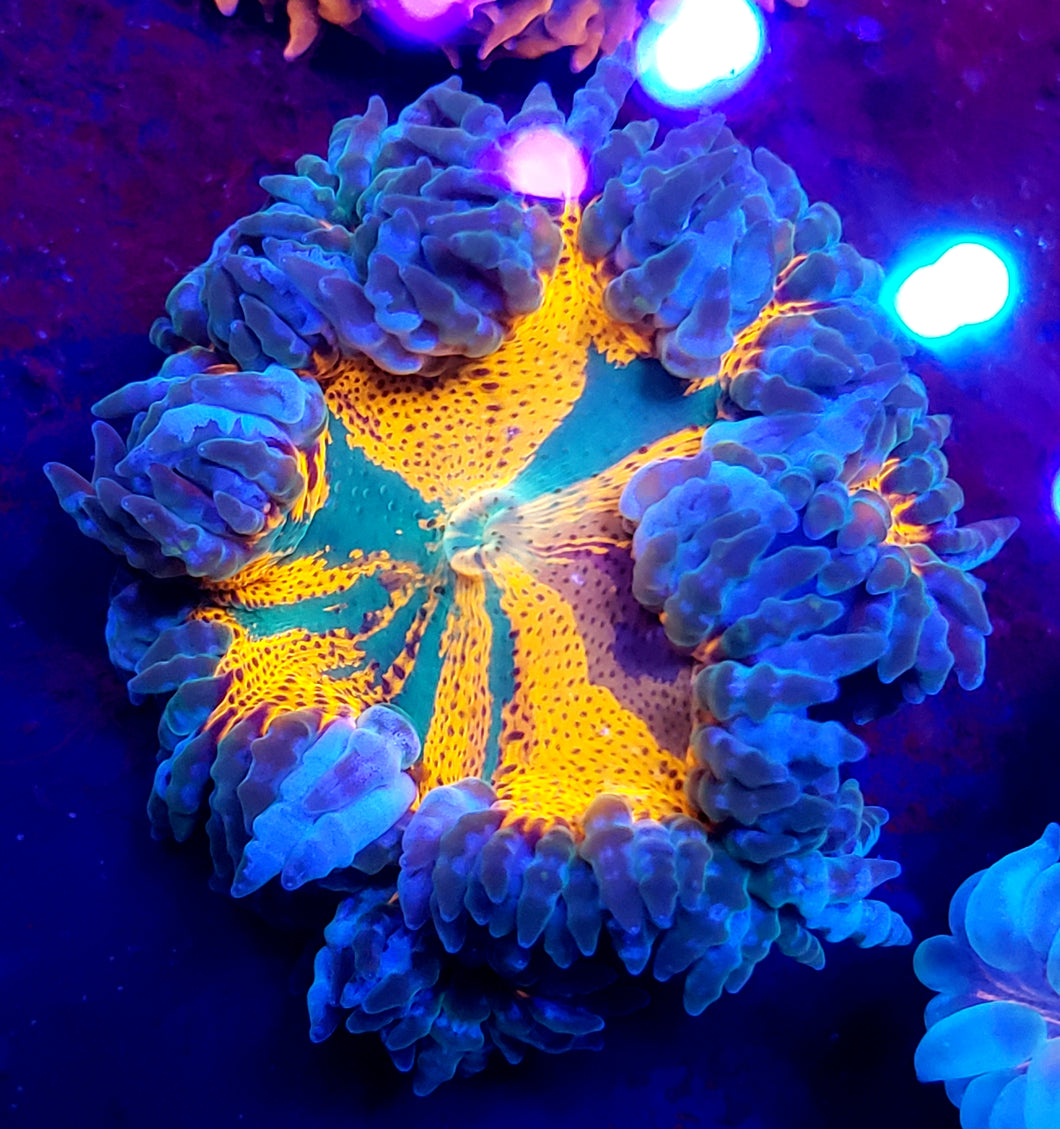 Insane Tri-Color Tie-Dye Ultra Red Flower Anemone Rare!