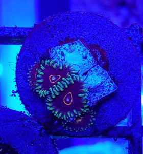 Purple Heart Zoas