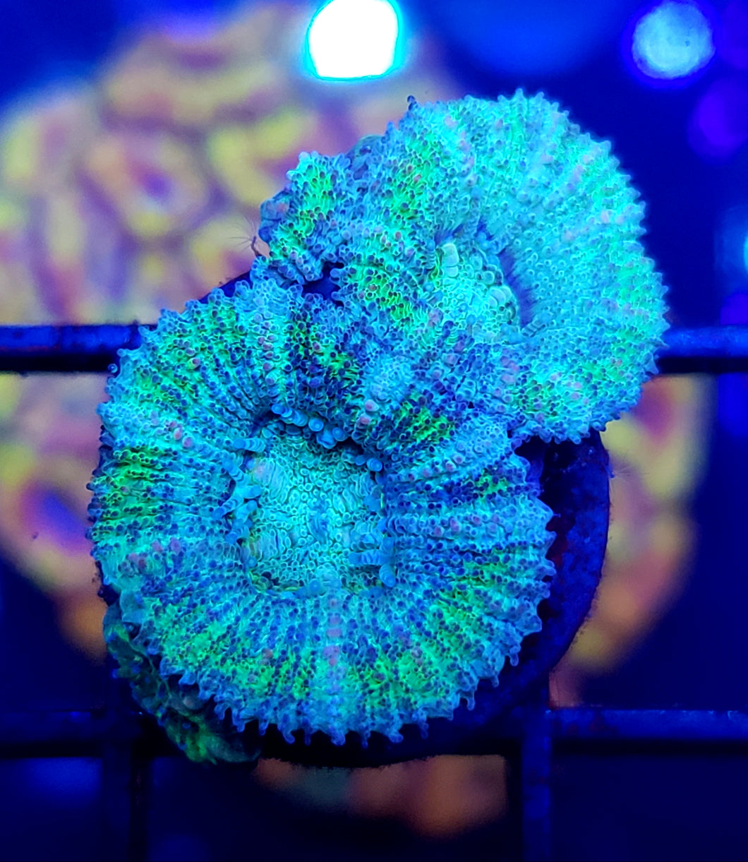 Ultra Blue/Green Acans