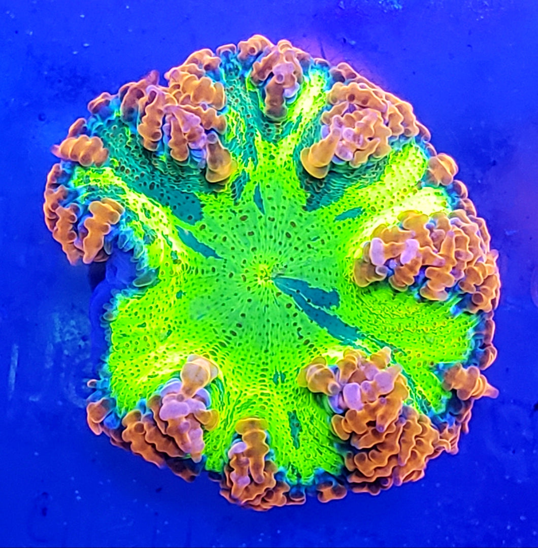 Insane Ultra Tie-Dye Flower Anemone