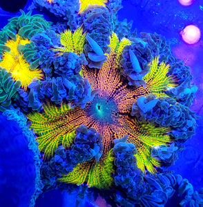 XL Green Center Rainbow Flower Anemone