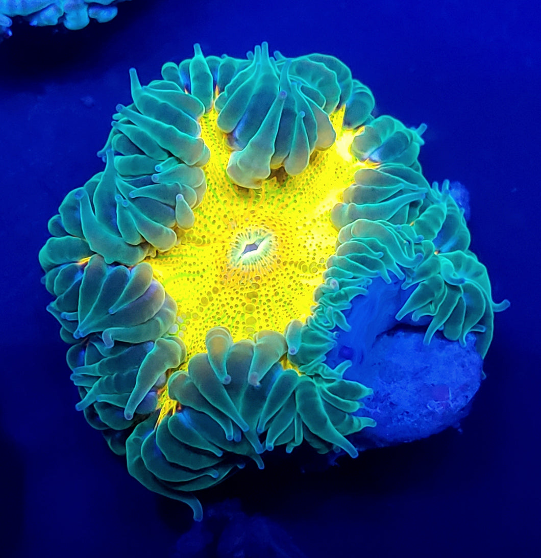 Ultra Yellow Rainbow Flower Anemone