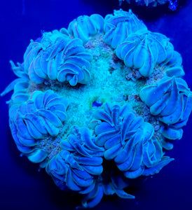 Ultra Teal Bubbly Flower Anemone