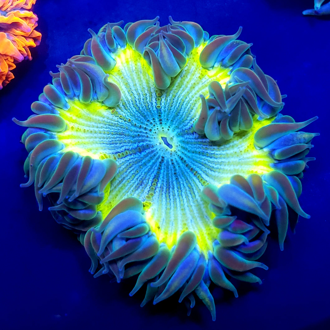 Highlighter Zebra Flower Anemone