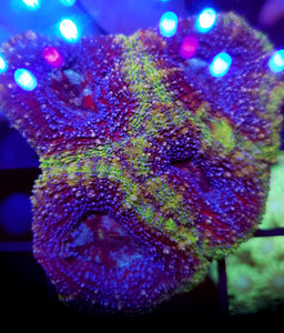 Northern Lights Acan Bowerbanki