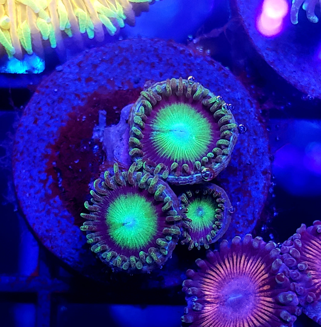 Sour Apple Zoas