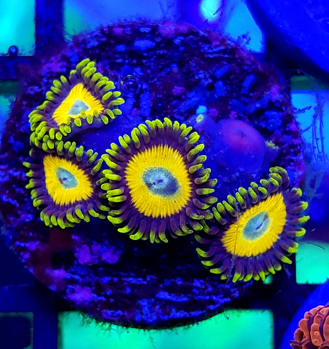 Scrambled Egg Zoas