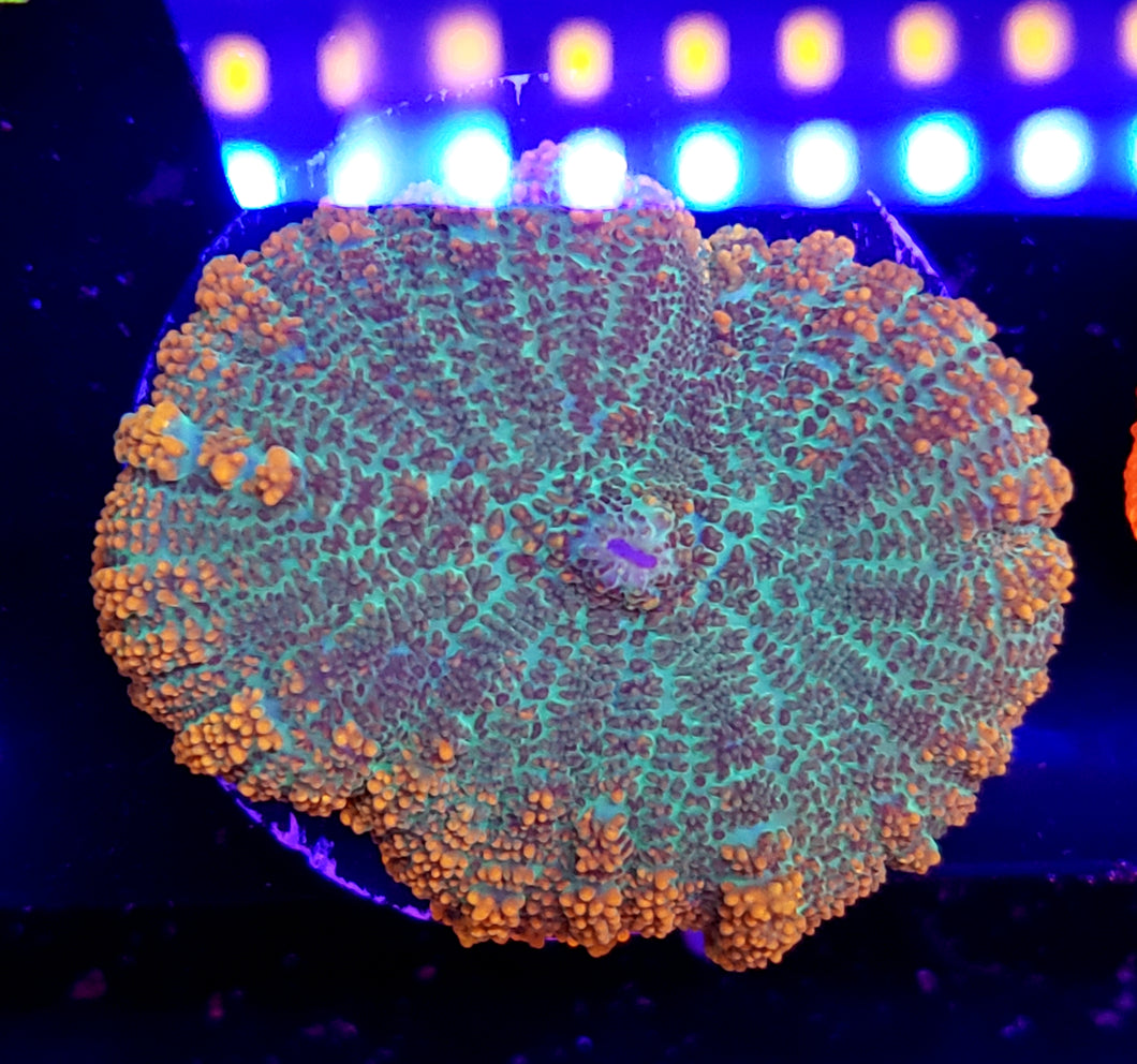 XL Ring of Fire Rhodactis Mushroom