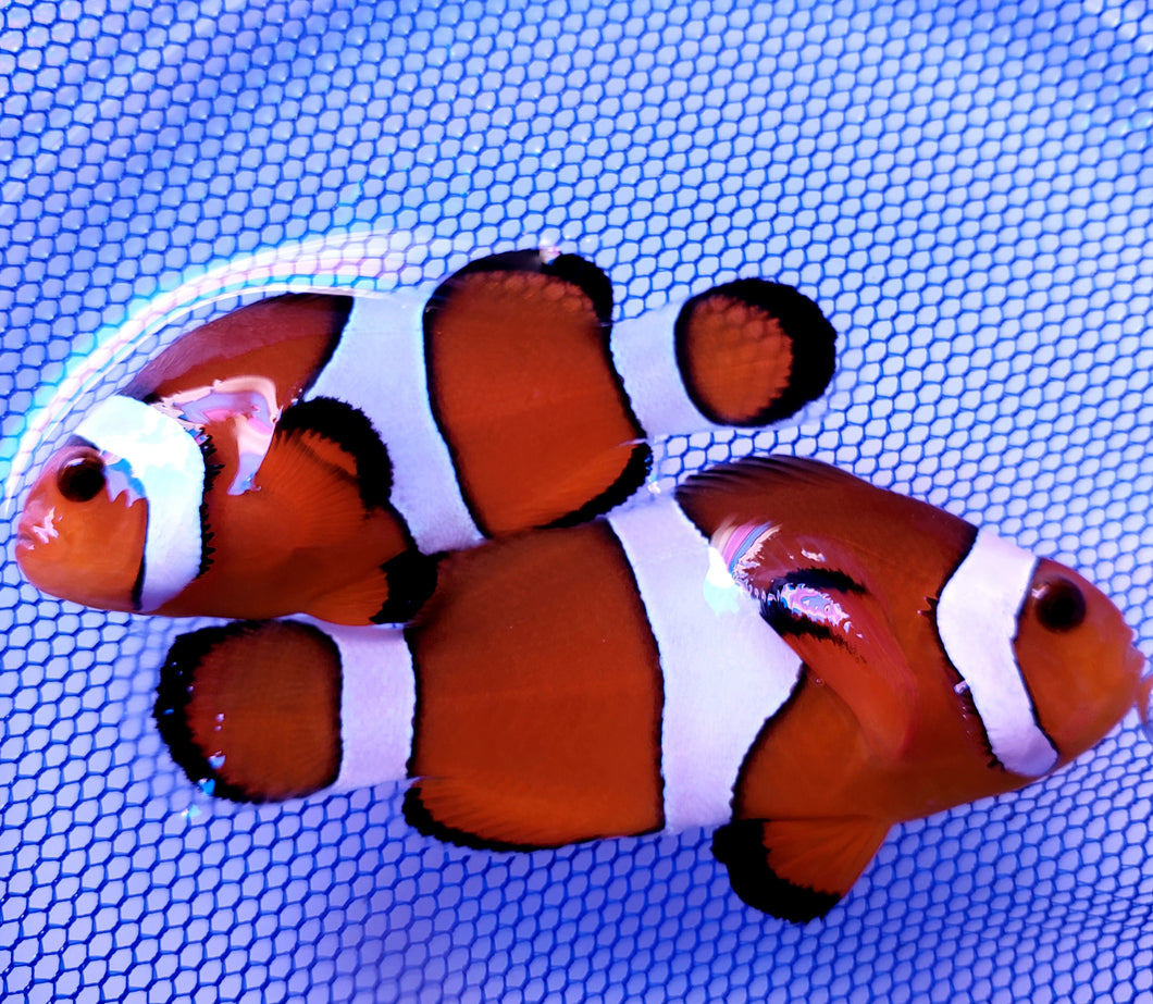 SA Orange Blaze Clownfish Pair