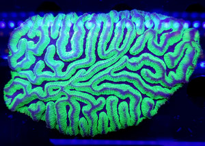 Uranium Maze Brain Colony