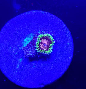 Purple Monster Zoa