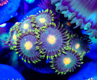 Greenbay Packer Zoas